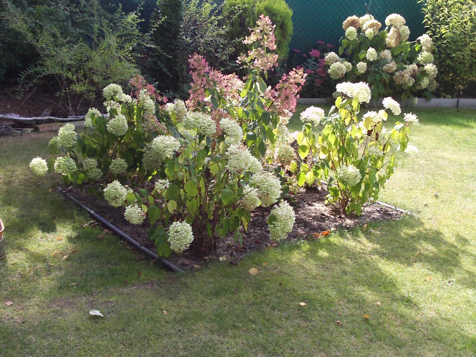 ballhortensie hydrangea arborescens annabelle gartenelfe. Black Bedroom Furniture Sets. Home Design Ideas