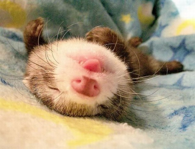 Beautiful Ferrets Images | Beautiful & Cute Photos Of Ferrets Seen On www.coolpicturegallery.us
