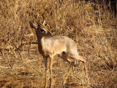 Dik Dik, animals africa, animales africa, Kenya