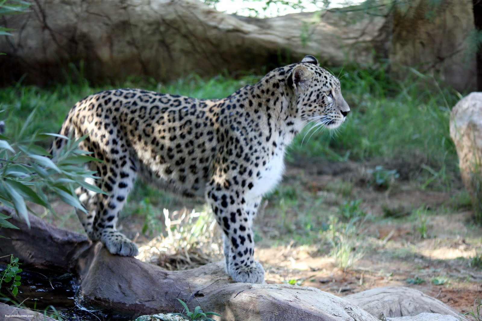 Persian Leopard | Wallpaper Zoom