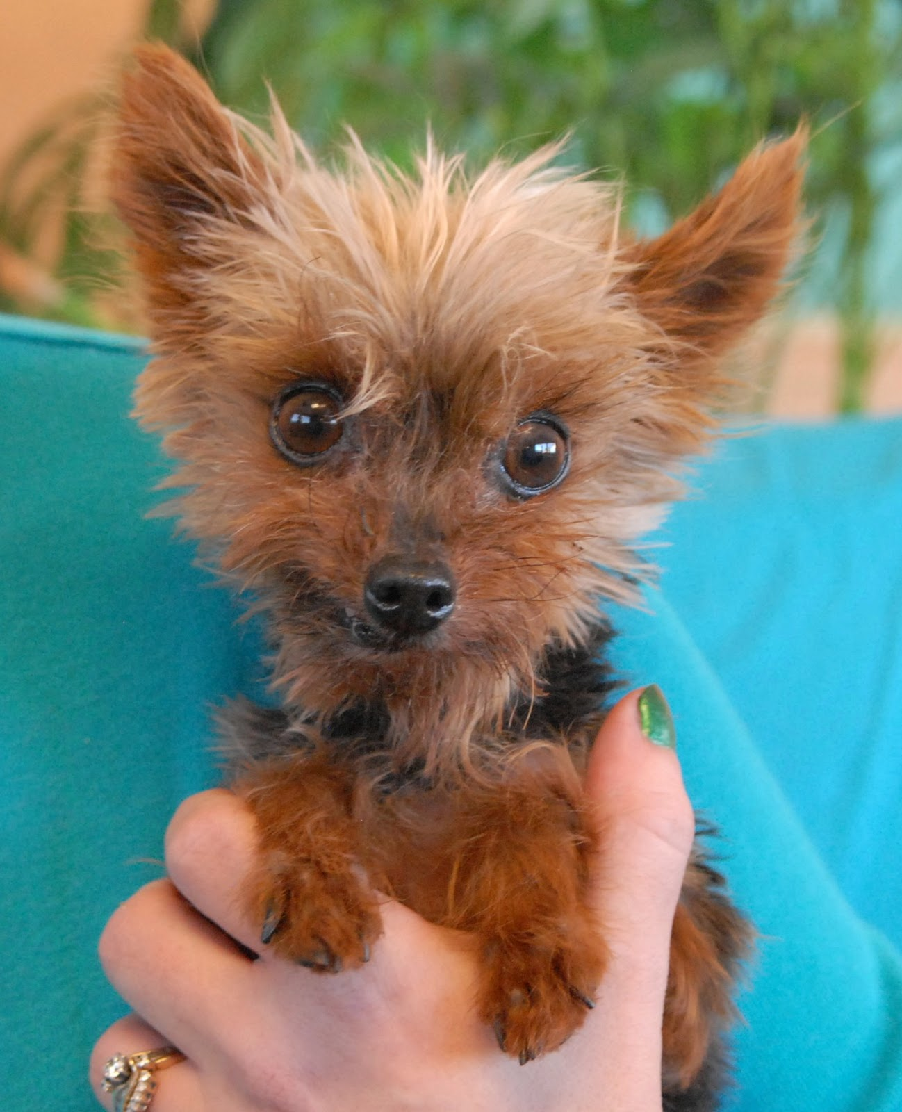 Nevada SPCA Animal Rescue Twinkie a tiny Yorkie for adoption