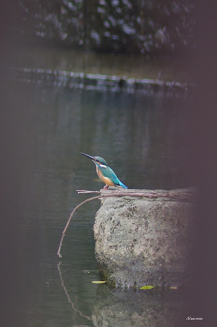 雞南山有稀客翠鳥來訪