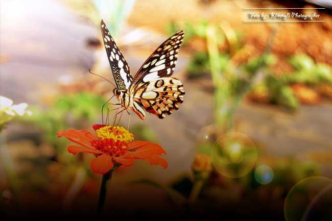Cantiknya Kupu - Kupu  Di Atas Bunga | Fotografer & Editing By : Klikmg 5 ( Shinta ) | Fotografer Cilik | Fotografer Indonesia