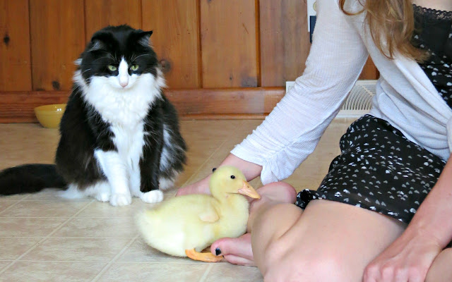 cat thinks baby duck is dinner