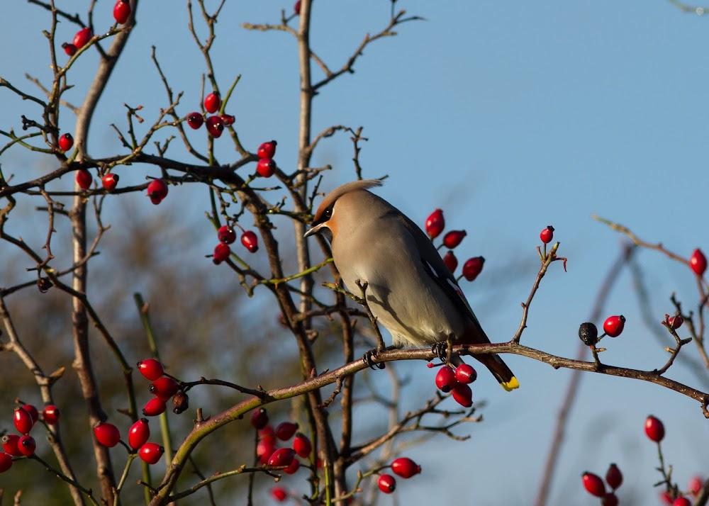 Pestvogel-Bohemian Waxwing