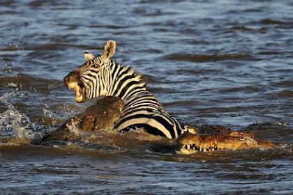 Dramatis, Buaya Sungai Nil Memangsa Zebra Hidup-hidup