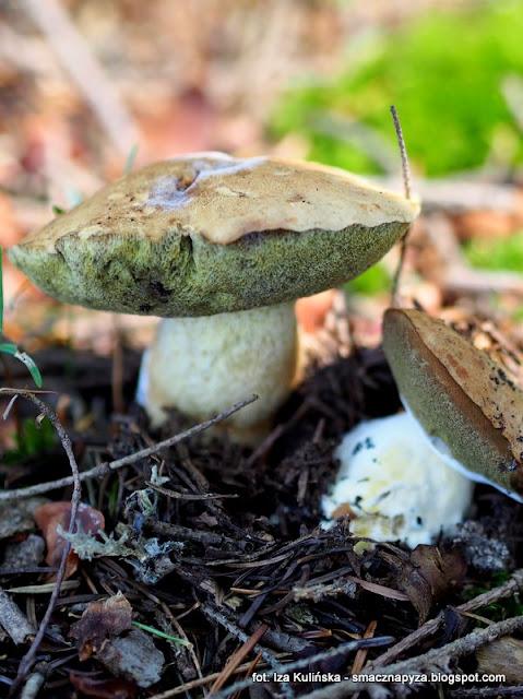 borowik górski , atlas grzybów , na grzyby , grzybobranie , grzyby gatunkami , poznaj nowe gatunki , las , prosto z lasu