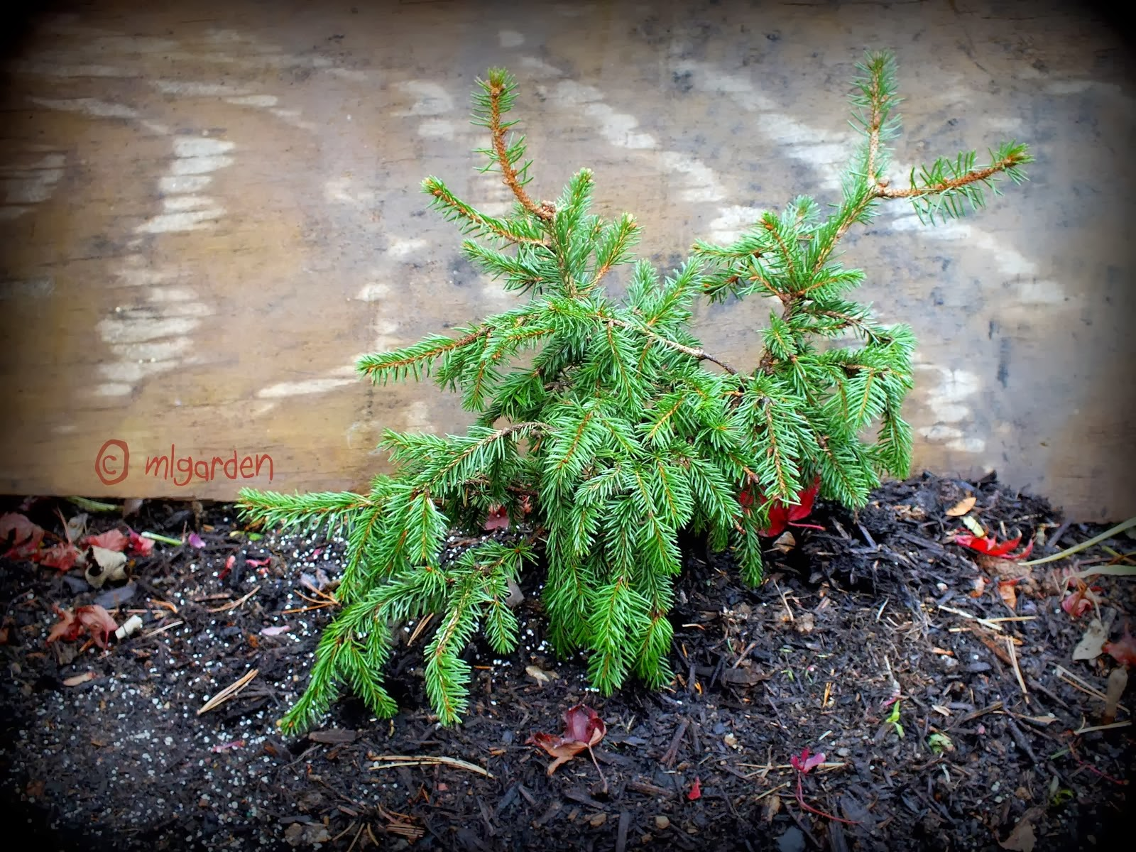 Picea abies ( no name yet)
