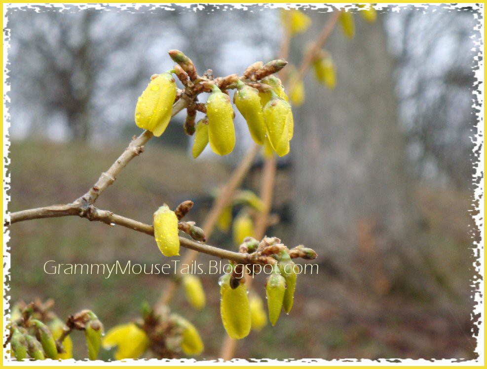 wet forsythia buds emerging photo