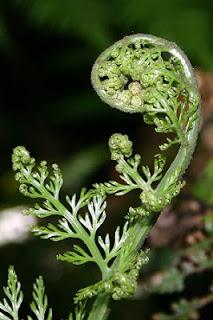 Jardineria, Catalogo de Plantas: Asplenium bulbiferum