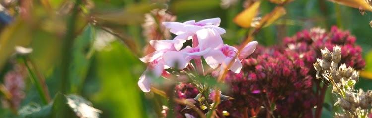 Phlox og sankthansurt blomstrer i haven i oktober