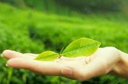 Green Tea Matcha Green Tea Weigh Loss Green Tea Caffeine Matcha Green Tea health Benefits