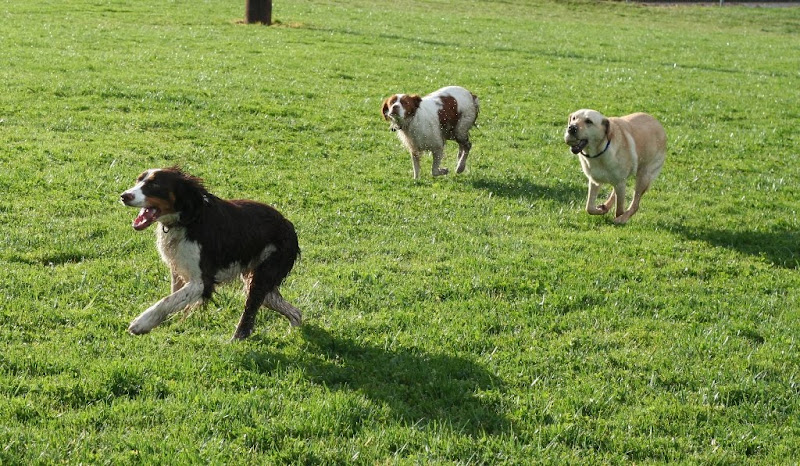 mindy, penny and cabana all in a full run on green field, cabana has a big softball in her mouth, all dogs are off the ground in mid-gallop