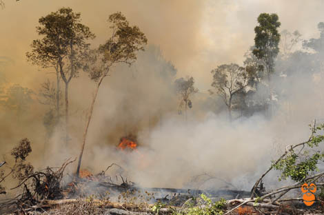Hutan Dibakar, Nasib Orangutan di Tumbang Koling Kritis