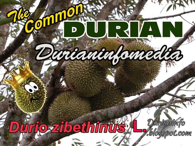 More Durianinfo on The Web