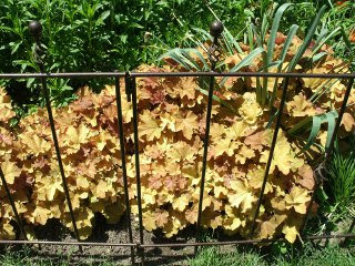 Caramel heuchera behind metal barrier at Paul Kane House gardens by garden muses: a Toronto gardening blog