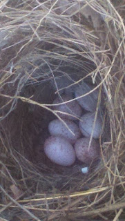 baby bird eggs, bird eggs, tufted titmouse, titmouse, farm life, white egg speckled brown, white egg with brown spots