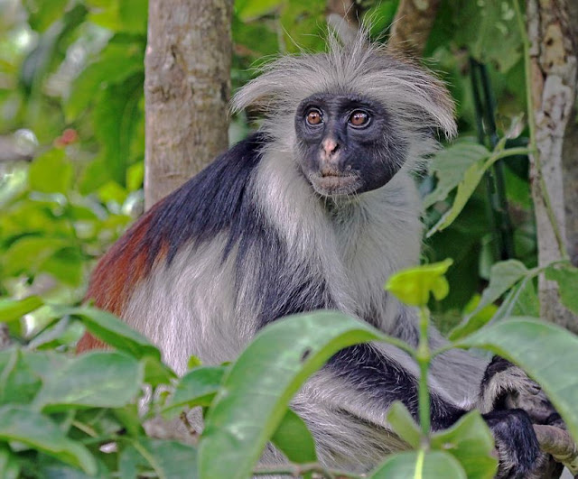 Buy canvas artwork of Zanzibar Red Colobus