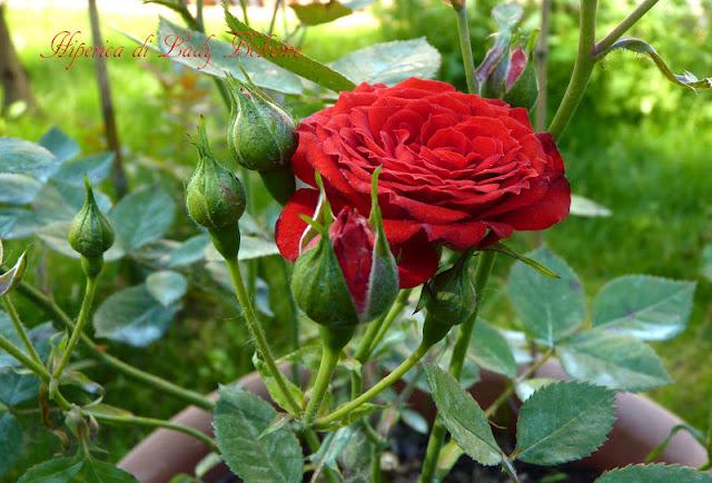 hiperica_lady_boheme_blog_di_cucina_ricette_gustose_facili_veloci_rosa_rossa