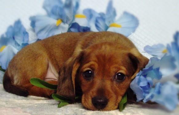 Cute Puppy Dogs: cute dachshund puppies