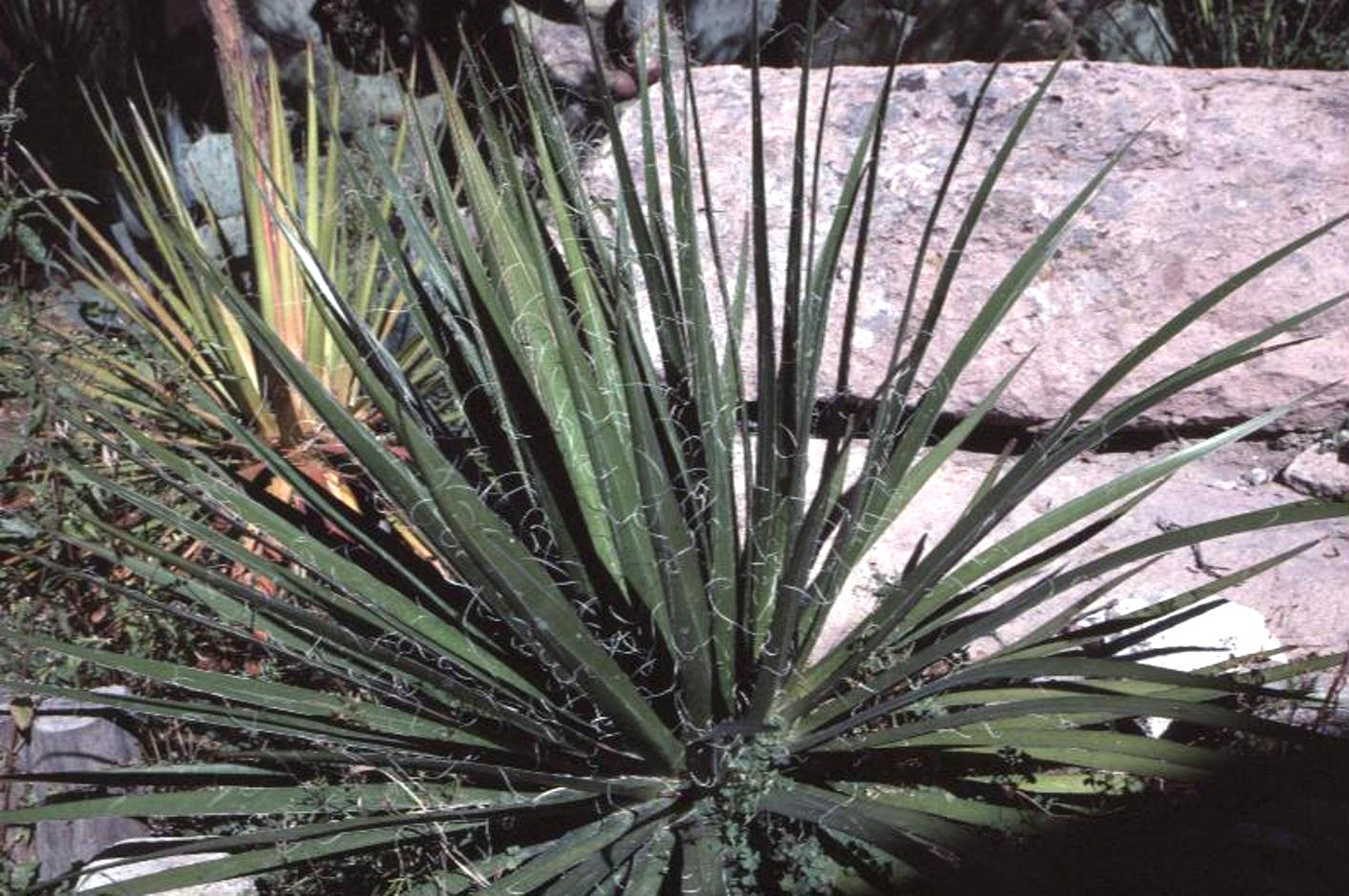 This is what inspires me plant of the week yucca for Yucca plante