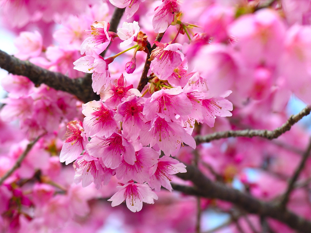 Cherry blossom pictures pink flower wallpapers - Flower t wallpaper ...