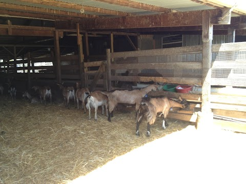 Mama goats eating from trough in the goat house.