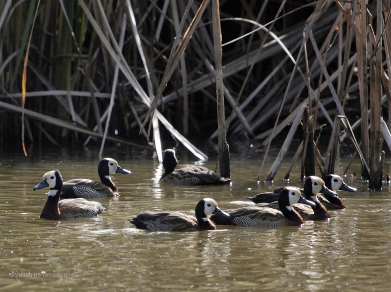 White-faced whistling ducks in Gambia