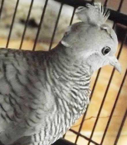 Perkutut Songgo Ratu Keistimewaan Dan Kesialan Memelihara Burung Ini