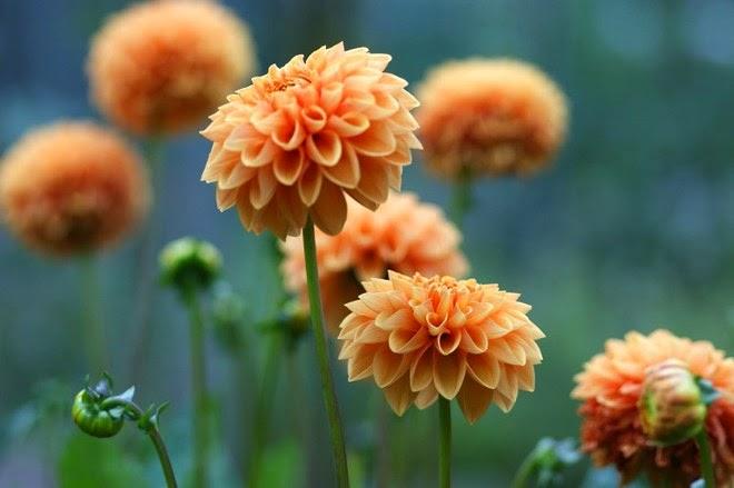 10 loài hoa phụ nữ yêu thích nhất 8