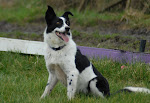 Feroda Lily Fudge Cake My first Agility dog and soul mate. Grade 6 and Olympia finalist 2010.
