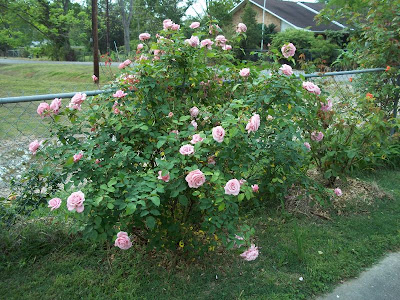 how to bring back a dead rose bush