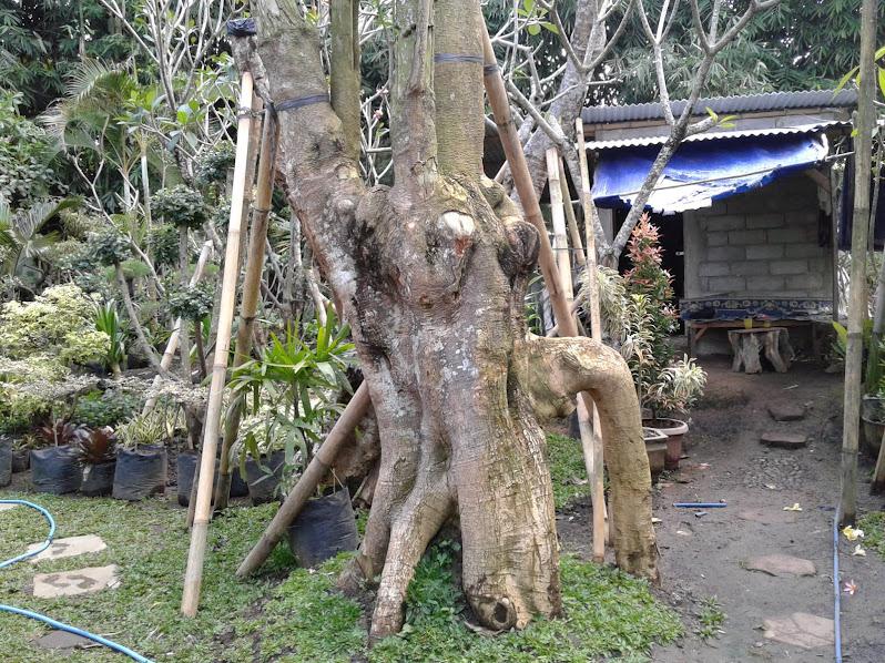 Pohon Pule Unik