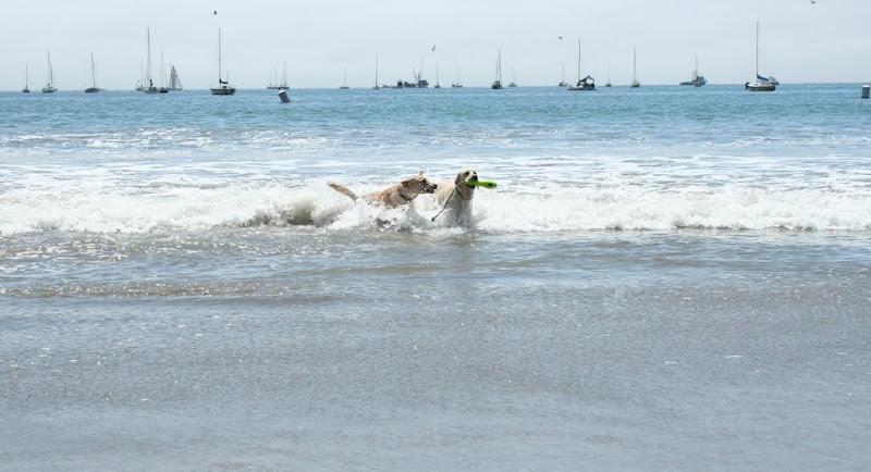 cabana and another yellow lab running through the waves, the other dog has a floating toy with rope on it in her mouth