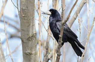 Graja, Corvus frugilegus, Rook