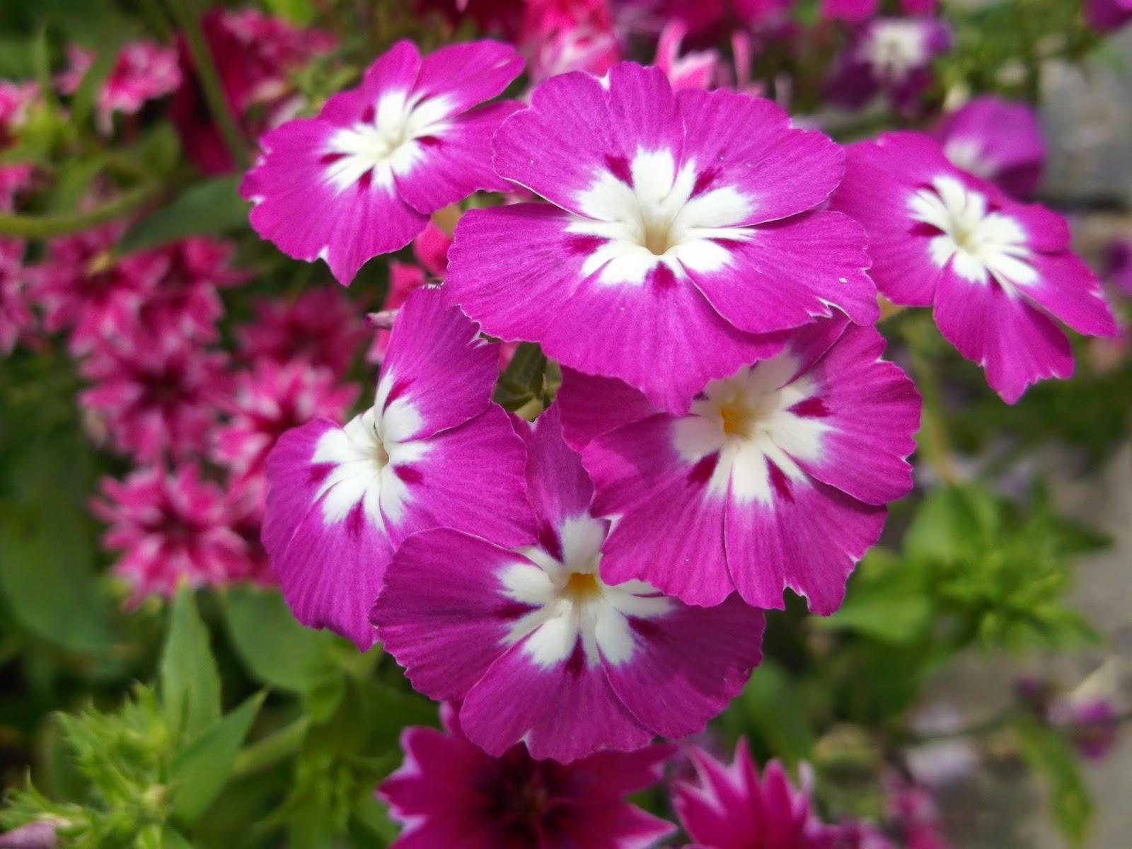 Флоксы однолетние цветок