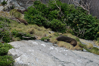 Seals resting on rocks in Milford Sound