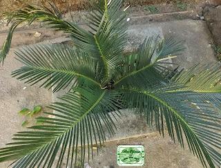 pequeno arbusto cyca revoluta