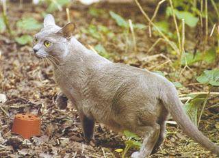 Burmese Cat Pictures