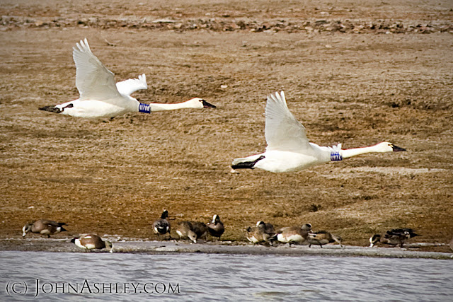 Banded Tundra Swan pair near Kalispell, MT (c) John Ashley