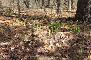 photo of emerging day lilies