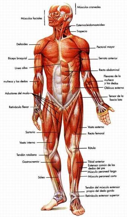 Saber es Salud: Anatomía básica, los músculos