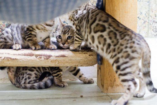 Фото - красивые бенгальские котята