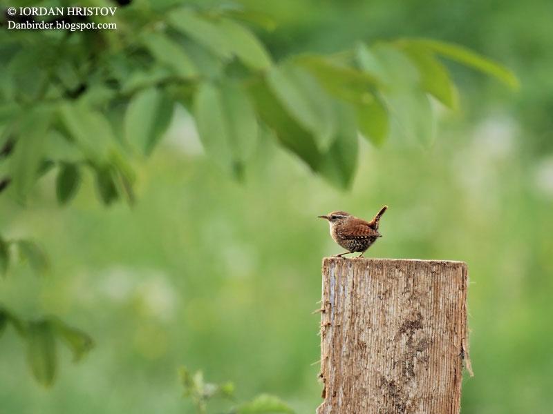 Wren photography