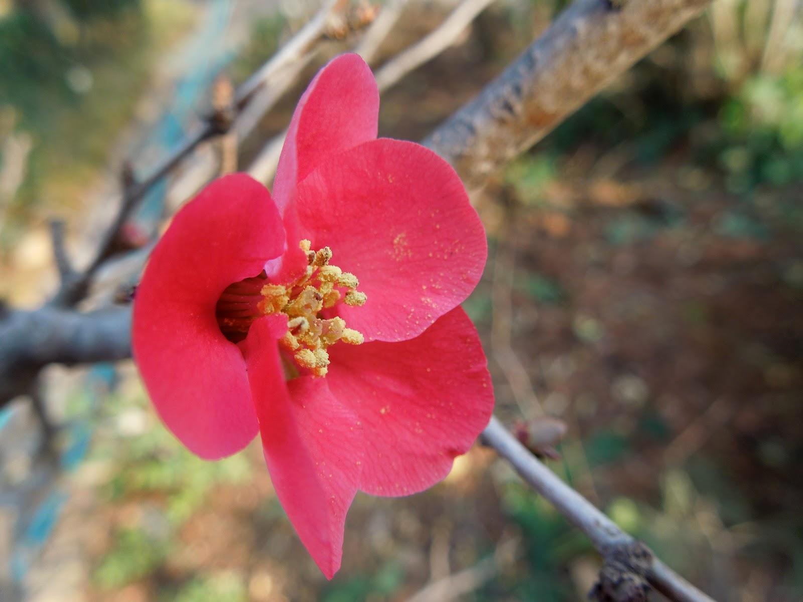 Membrillo de flor en flor bot nic serrat - Arbol de membrillo ...