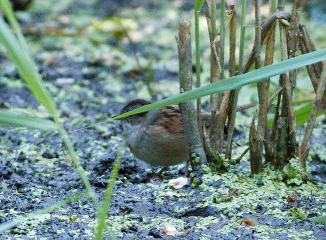 Swamp Sparrow - Prospect Park, New York