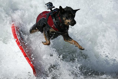 Freckles the Dog and Surf City Surf Competition for Dog