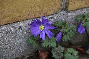 Blå anemone op af husmuren