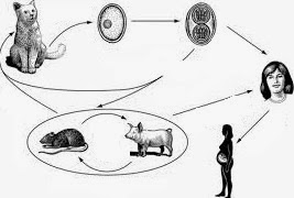 CMV dalam kehamilan
