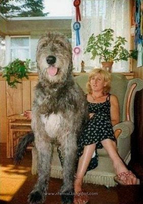 Picture Porter The World Biggest Dog Guinness Book Records